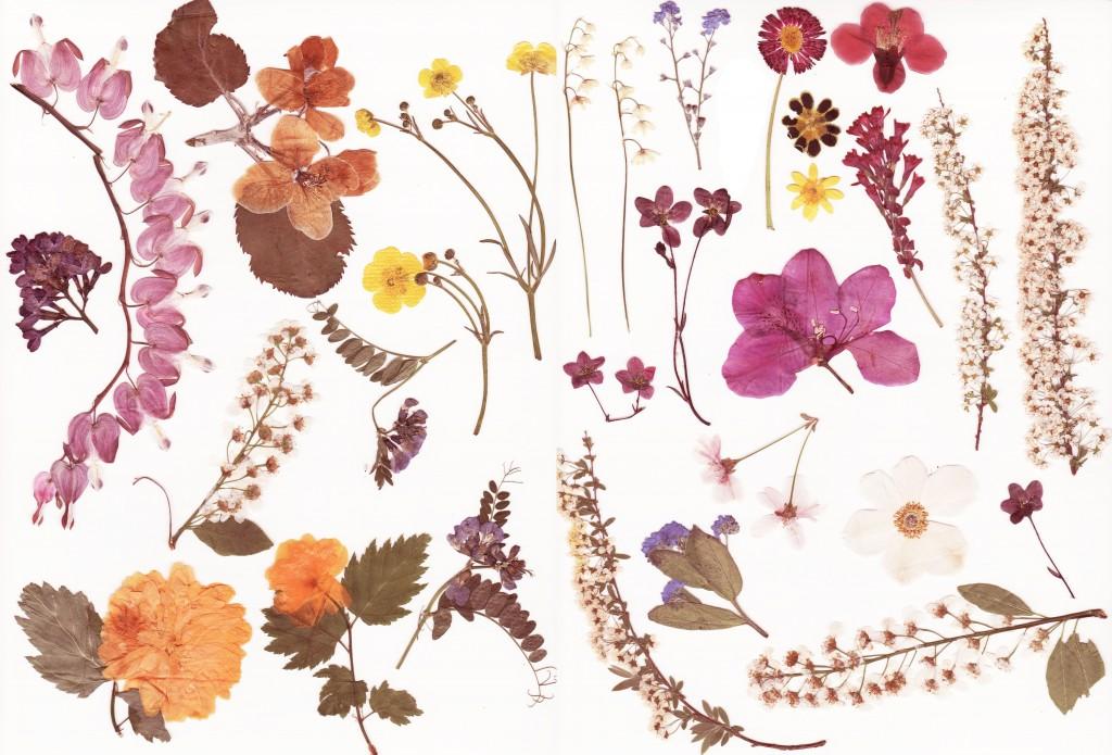 Pressed_flowers_stock_by_Rocktuete